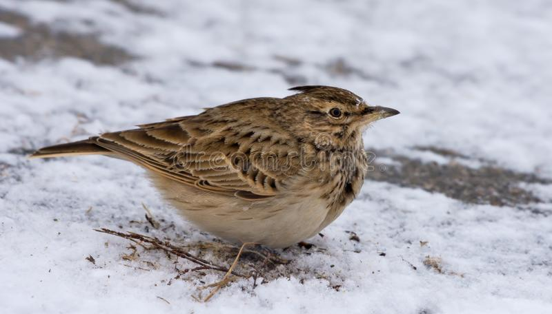 Crested Lark sits on snowy earth in cold winter stock photography