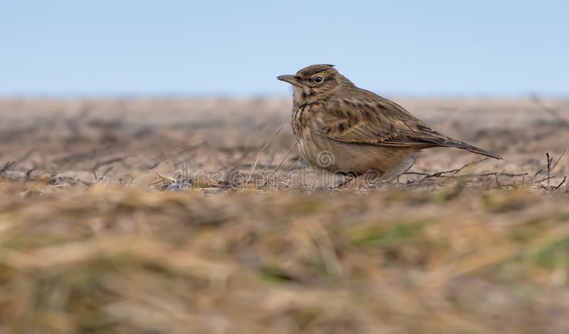 Crested Lark sits on bare soil level in hot season royalty free stock photography