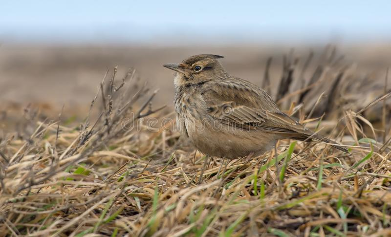 Crested Lark sits in the grass and yellow old herbs royalty free stock images