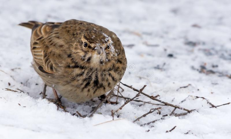 Crested Lark with snow crusted face while searching some seeds in snow royalty free stock photos