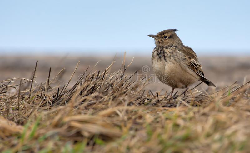 Crested Lark stands in the grass with yellow aged hay stock images