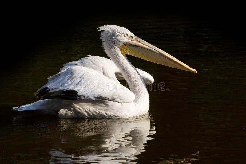Crested Pelican. (Pelicanus Crispus) on black water background stock photography