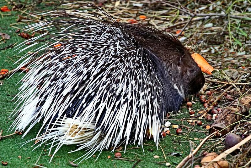 Crested porcupine, or comb porcupine Hystrix cristata is a large rodent; the second largest in the fauna of the Old world royalty free stock image