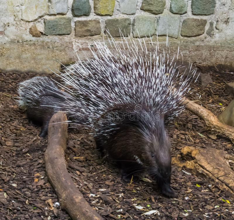 Crested porcupine in a defensive pose raising and spreading its quills to defend her child. A Crested porcupine in a defensive pose raising and spreading its stock photography