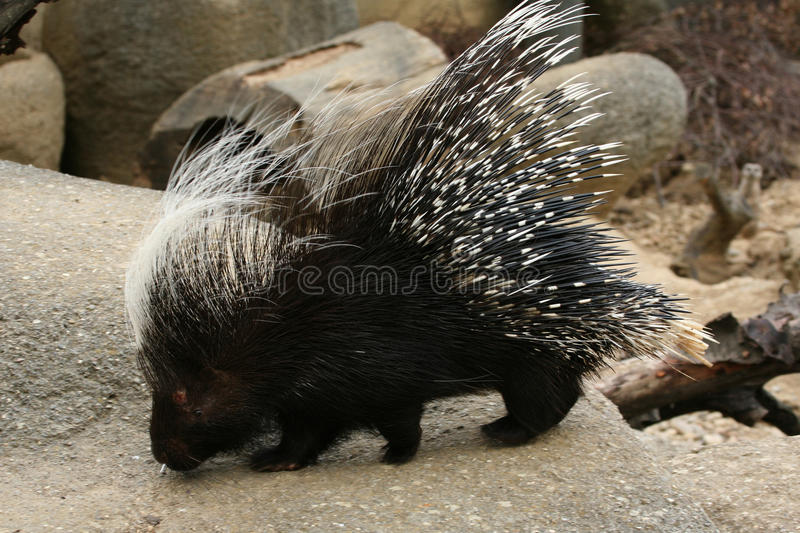 Crested porcupine. (Hystrix cristata) walking royalty free stock image