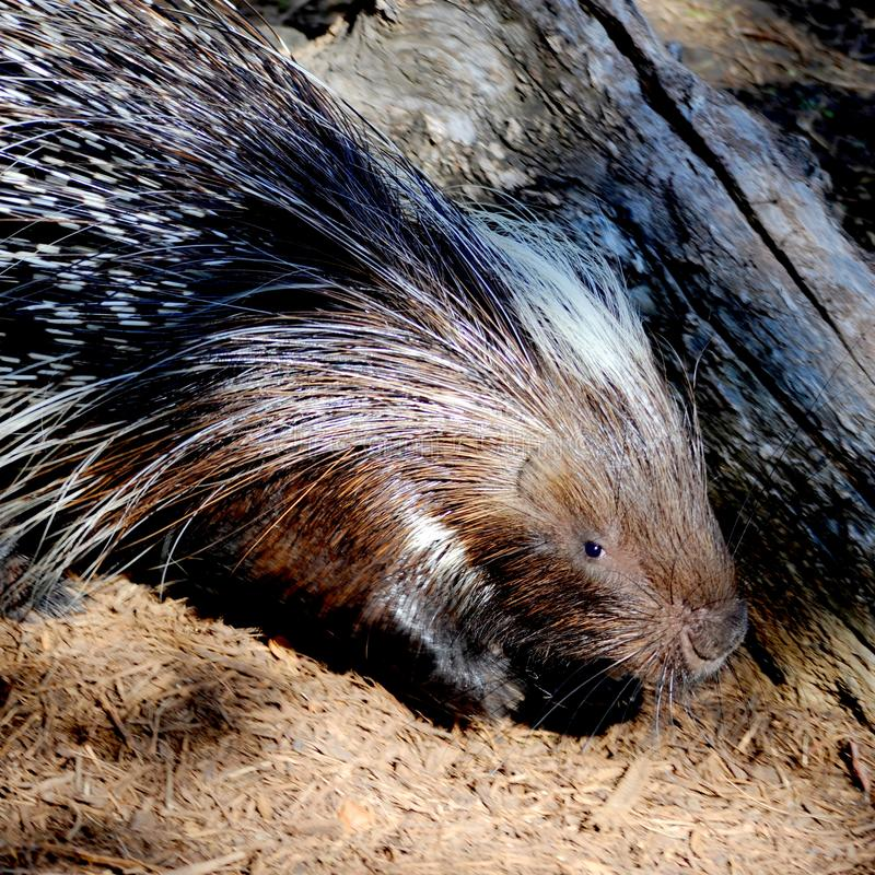The Crested porcupine is looking for shelter or a hiding place. Crested porcupines can be found in Northern Africa, Italy, and sub-saharan Africa. Their quills royalty free stock images