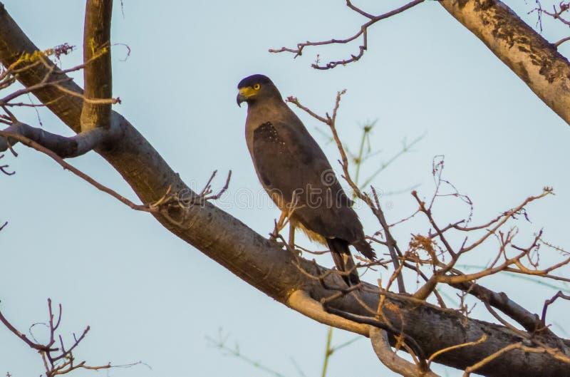 Crested serpent eagle-Bandhavgarh. Crested serpent eagle looking for its prey at Bandhavgarh National Park-India stock images