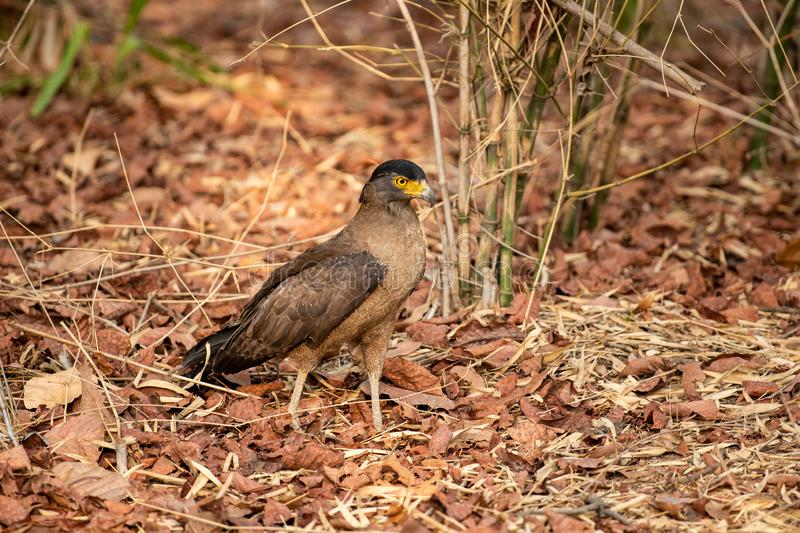 Crested Serpent Eagle Spilornis cheela perched on red dead leaves at bandhavgarh. National park, madhya pradesh, india stock images
