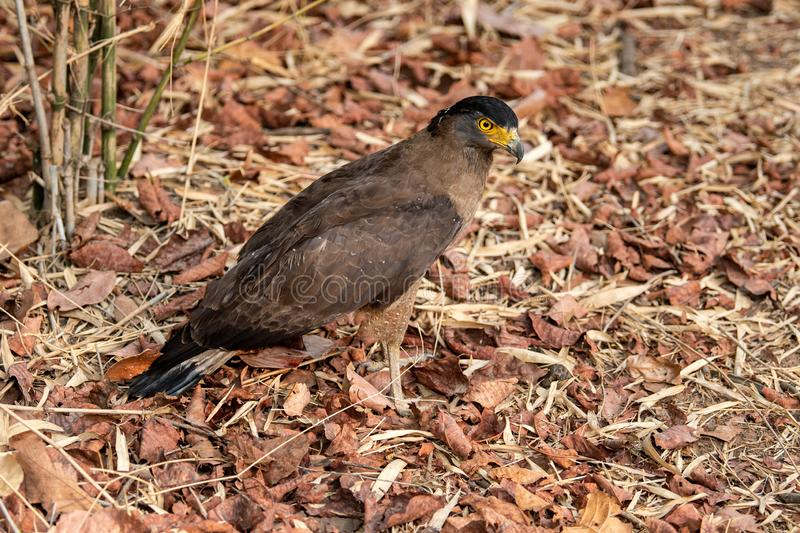 Crested Serpent Eagle Spilornis cheela perched on red dead leaves at bandhavgarh. National park, madhya pradesh, india stock photo