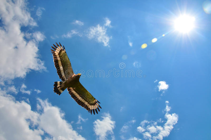Crested serpent-eagle. (Spilornis cheela) showing wing spread on sky and sun background royalty free stock images
