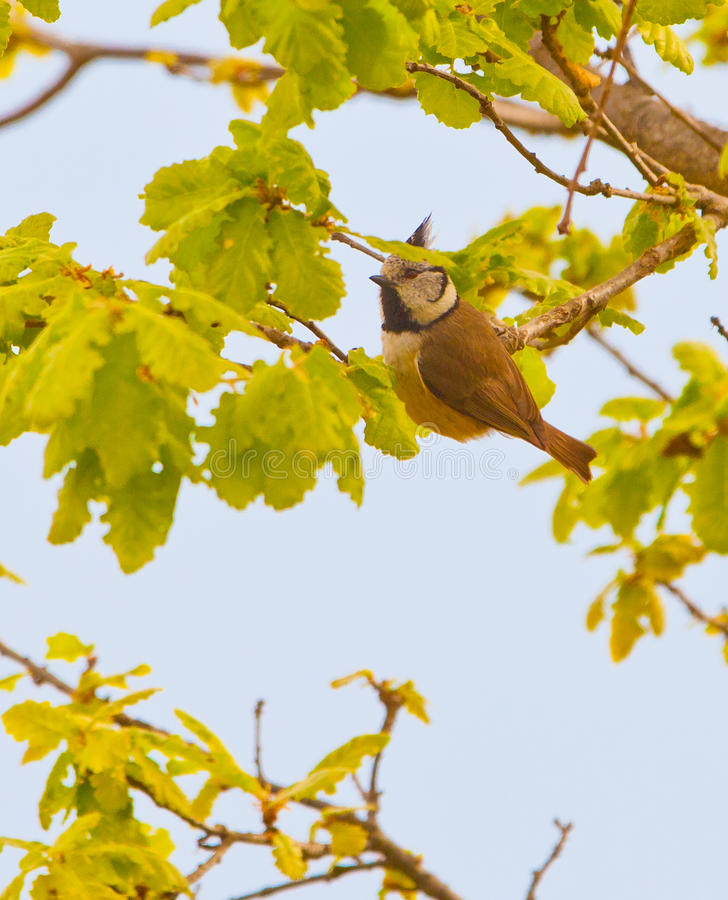 Download The Crested Tit stock photo. Image of free, birds, europe - 19503344