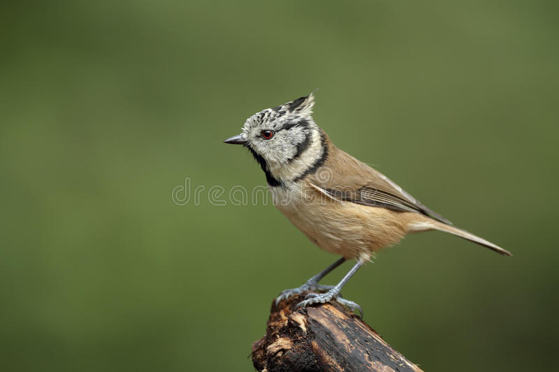Download Crested Tit stock photo. Image of scarce, infrequent - 20959066