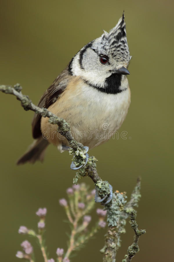 Crested Tit, (European Crested Tit) royalty free stock images