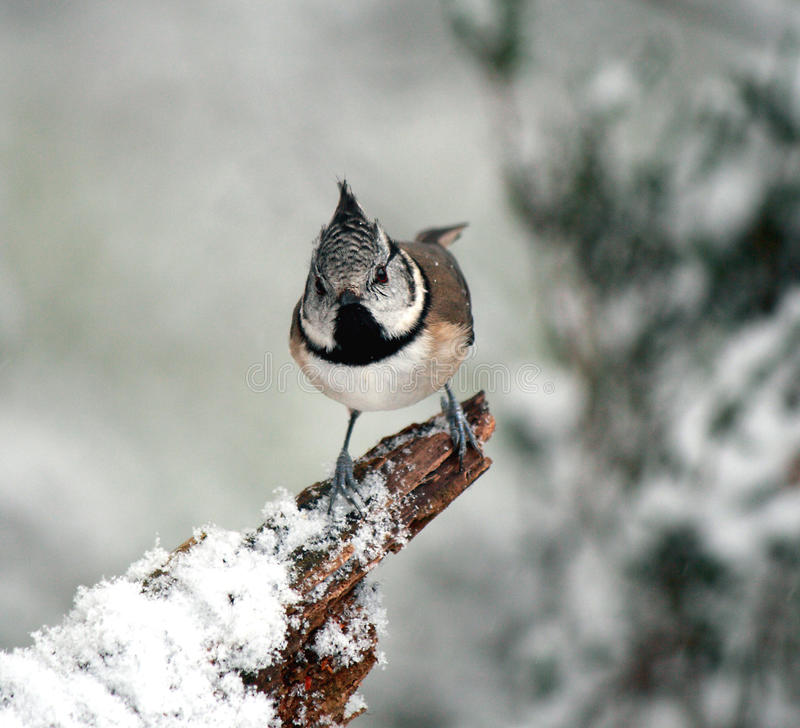 Crested Tit In Snow Royalty Free Stock Photography