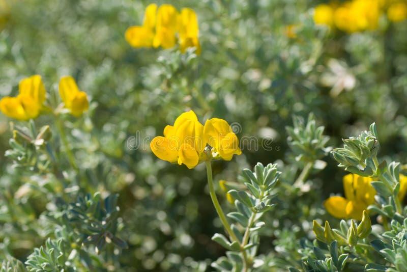 Cretan birds foot trefoil in spring. Cretan birds foot trefoil in full spring bloom stock photography