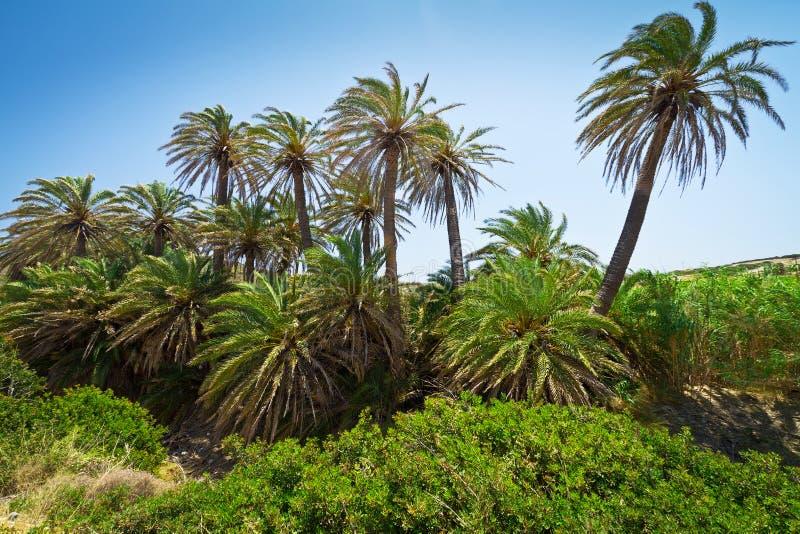 Cretan Date Palm Trees With Bananas On Crete Stock Photography