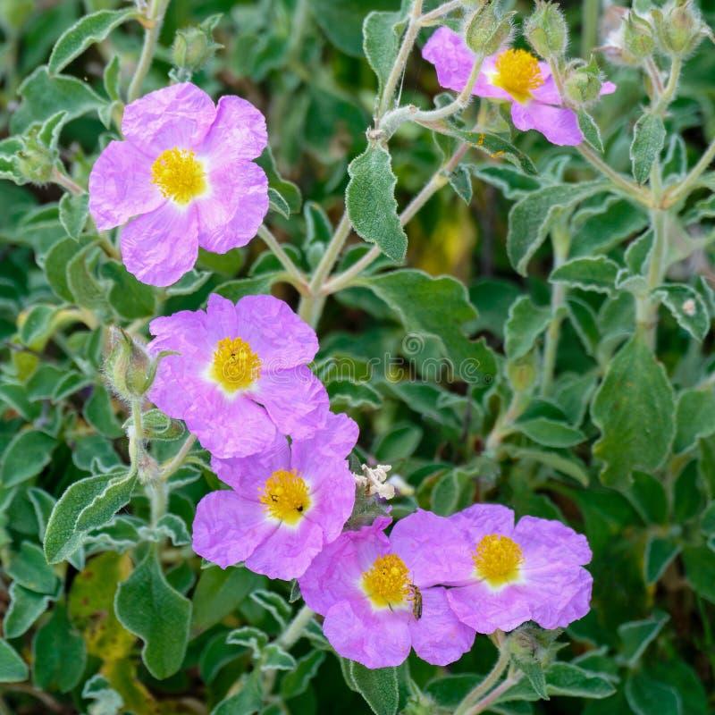 Cretanen vaggar rosa (Cistuscreticus L ), arkivfoton