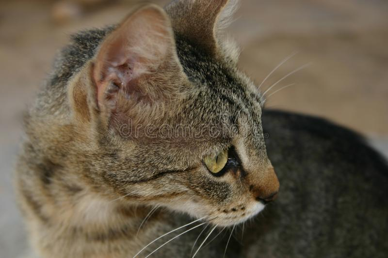 Crete / Cat Begging For Food Free Stock Image