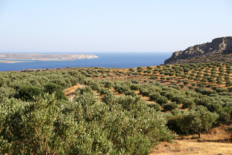 crete olive trees royaltyfria bilder