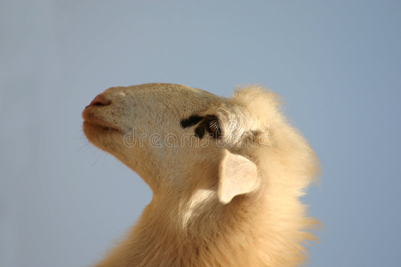 Download Crete / Sheep Royalty Free Stock Image - Image: 142426