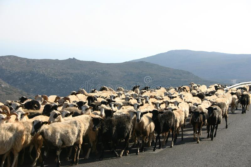 Crete / Sheep Blockade Free Stock Photo