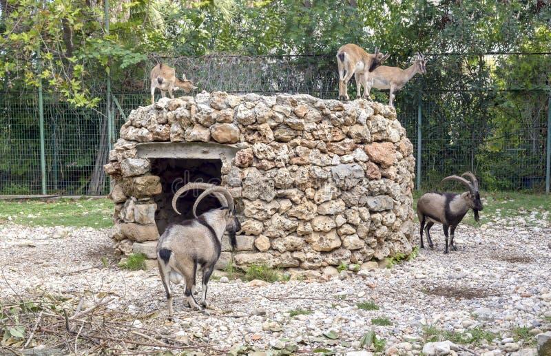 Cretica di aegagrus della capra del ` di kri-kri del ` della capra selvaggia del Cretan fotografia stock libera da diritti