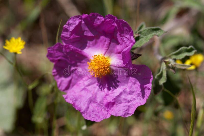 Creticus Cistus розового утеса розовое стоковая фотография rf