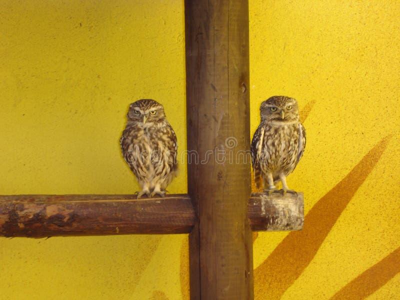 Creusant le hibou - cunicularia d'Athene images stock
