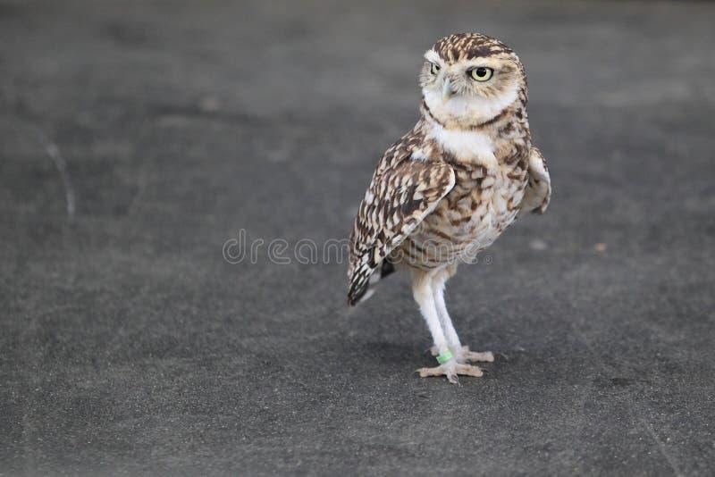 Download Creuser le hibou photo stock. Image du oiseau, adulte - 45353238