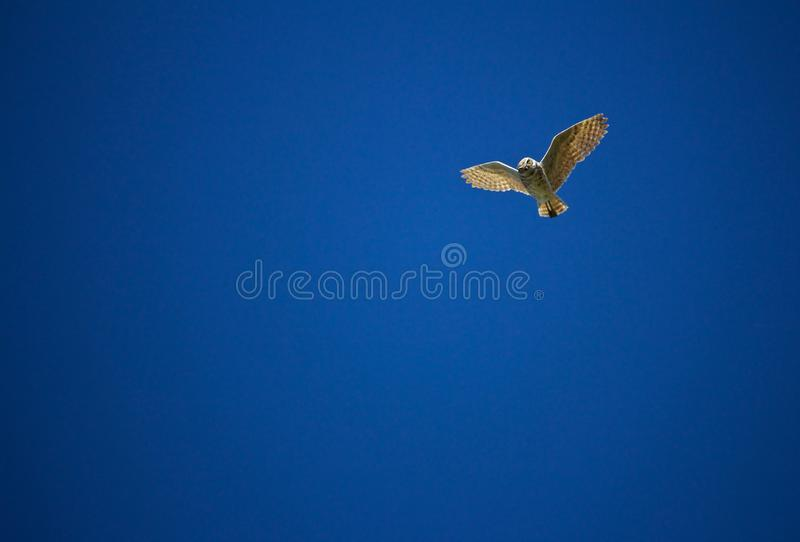 Creuser Owl Hovers Above photo libre de droits