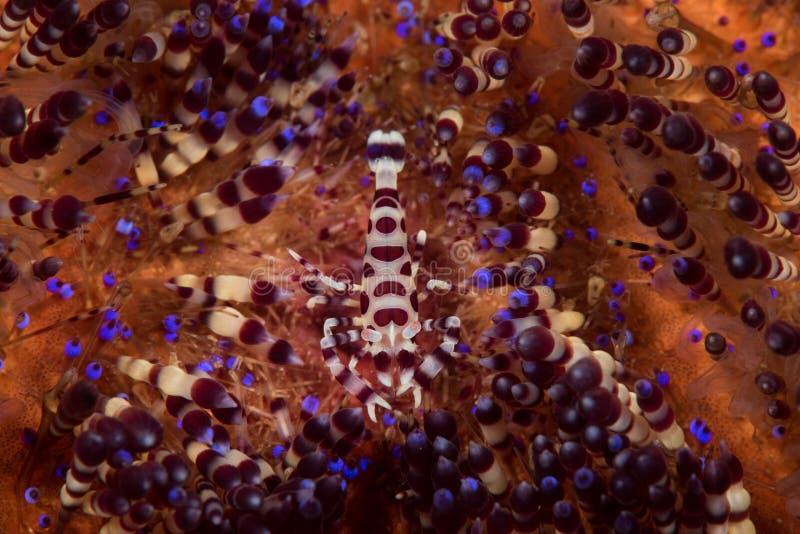 Crevette de Coleman photo stock