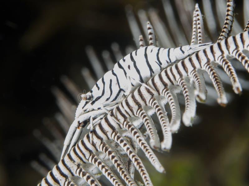 Crevette de crinoid de léopard photo libre de droits