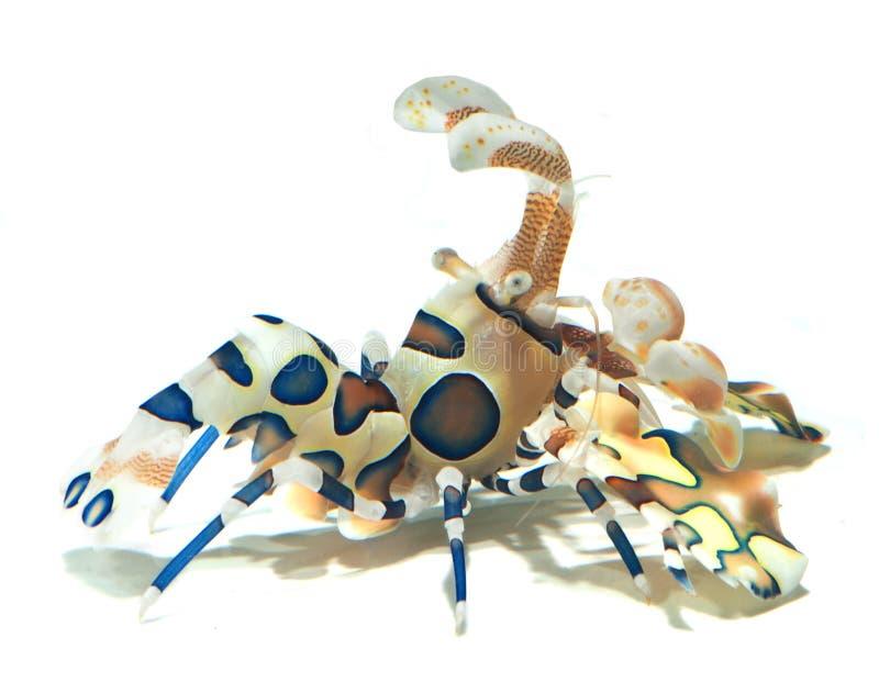 Crevette de harlequin d'isolement sur le fond blanc images libres de droits
