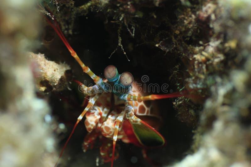 Crevette de mante regardant dehors de la caverne photo stock