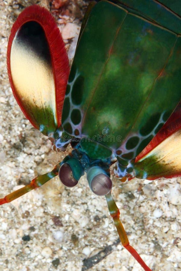 Crevette de Mantis images stock