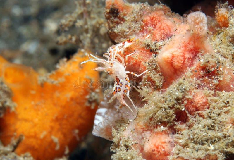Crevette de tigre images stock