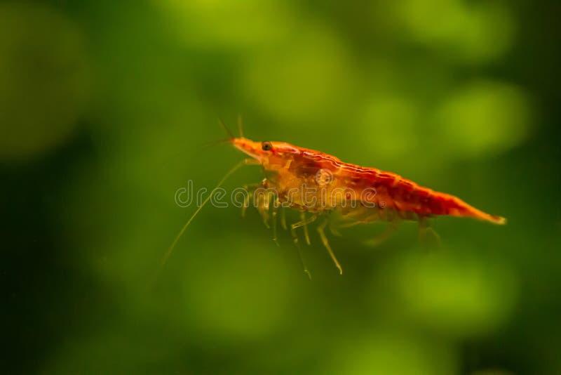 Crevette rouge photos libres de droits