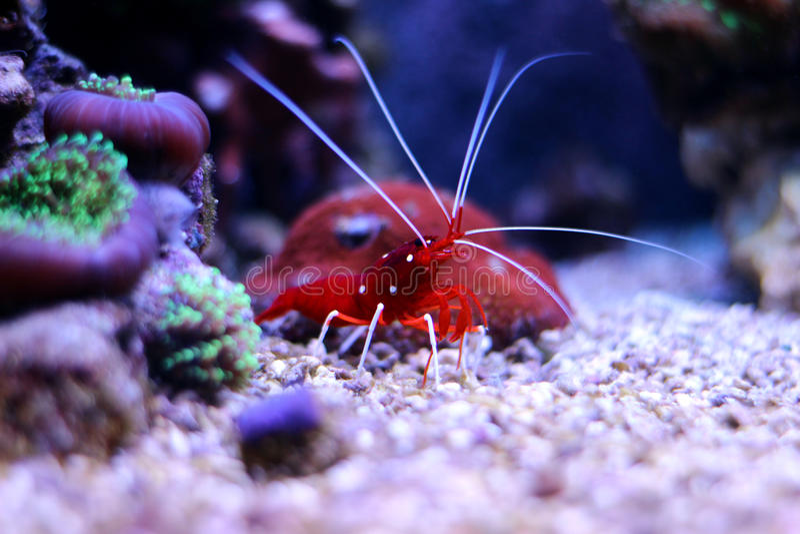Crevette rouge dans l'aquarium marin images stock