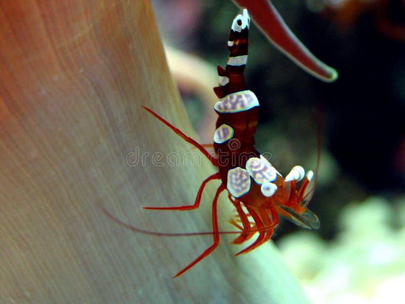 Crevette sexy (amboinensis de Thor) photos stock
