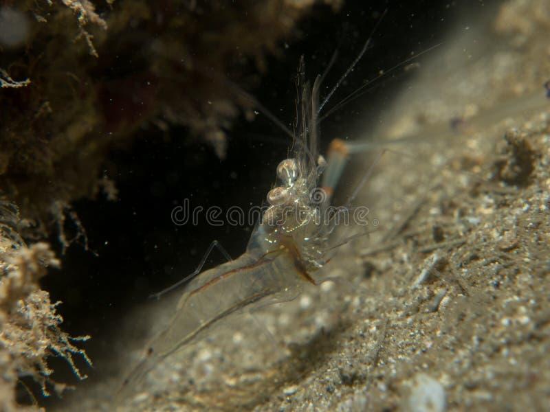 Crevette transparente sur le sable images stock