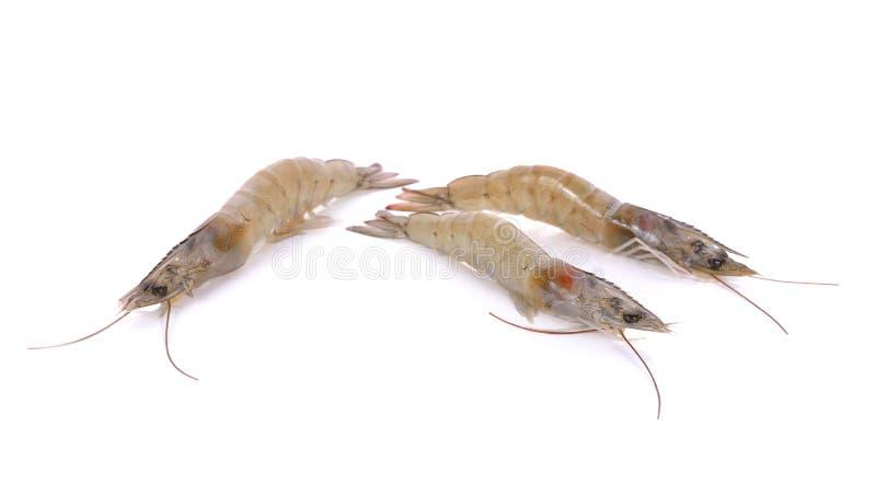 Crevettes fraîches entières de vannamei sur le fond blanc photo libre de droits