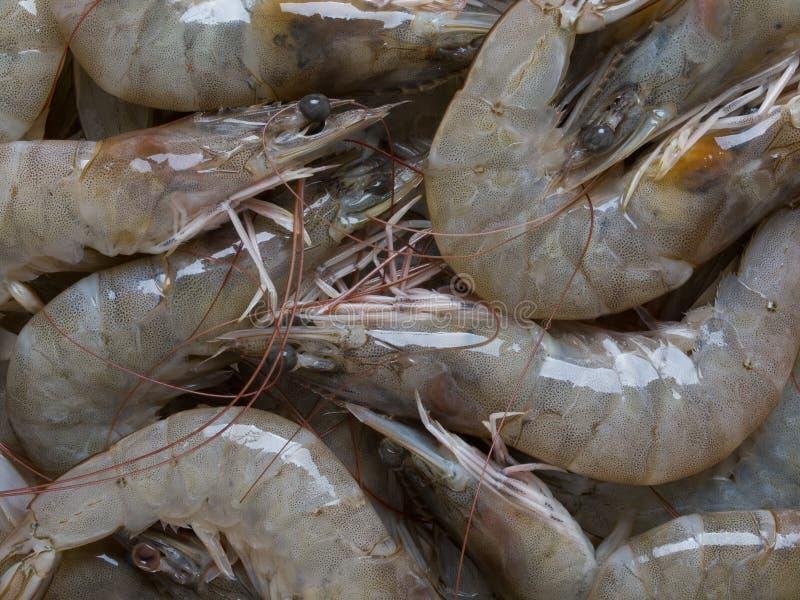 Crevettes grises photographie stock