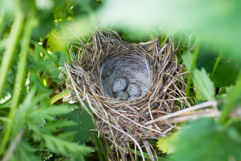 Crex för kornknarräggCrex i fågelrede i högväxta gräsängar royaltyfria bilder
