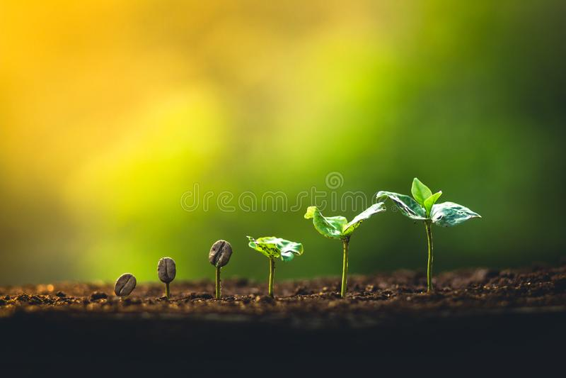 Crezca el cuidado de la mano del cafeto de la planta de los granos de café y el riego de los árboles que igualan la luz en natura foto de archivo