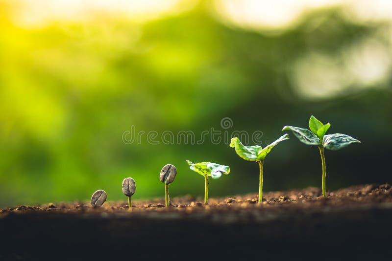 Crezca el cuidado de la mano del cafeto de la planta de los granos de café y el riego de los árboles que igualan la luz en natura fotos de archivo
