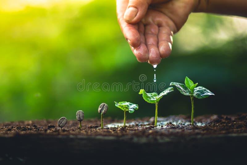 Crezca el cuidado de la mano del cafeto de la planta de los granos de café y el riego de los árboles que igualan la luz en natura imágenes de archivo libres de regalías