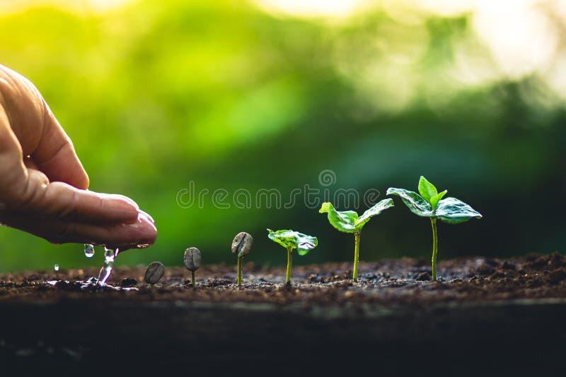 Crezca el cuidado de la mano del cafeto de la planta de los granos de café y el riego de los árboles que igualan la luz en natura imagenes de archivo