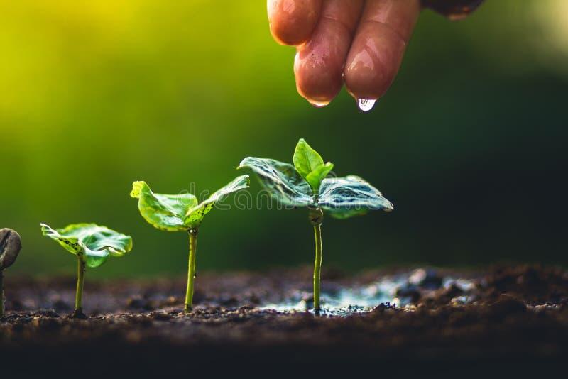 Crezca el cuidado de la mano del cafeto de la planta de los granos de café y el riego de los árboles que igualan la luz en natura imagen de archivo libre de regalías