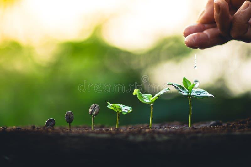 Crezca el cuidado de la mano del cafeto de la planta de los granos de café y el riego de los árboles que igualan la luz en natura fotografía de archivo libre de regalías
