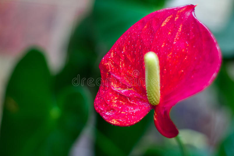 Crezca las plantas del Anthurium foto de archivo